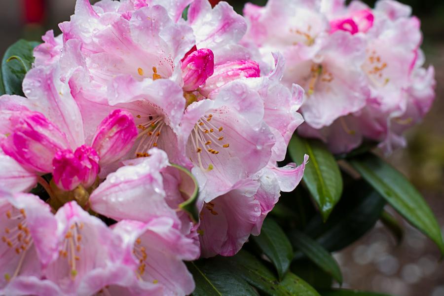 rhododendron garden -12