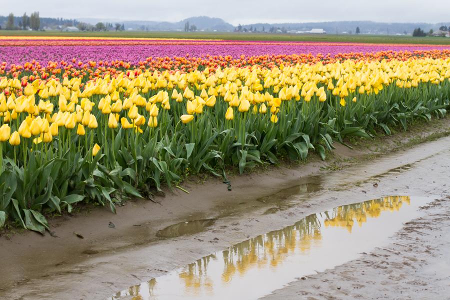 tulip festival-22