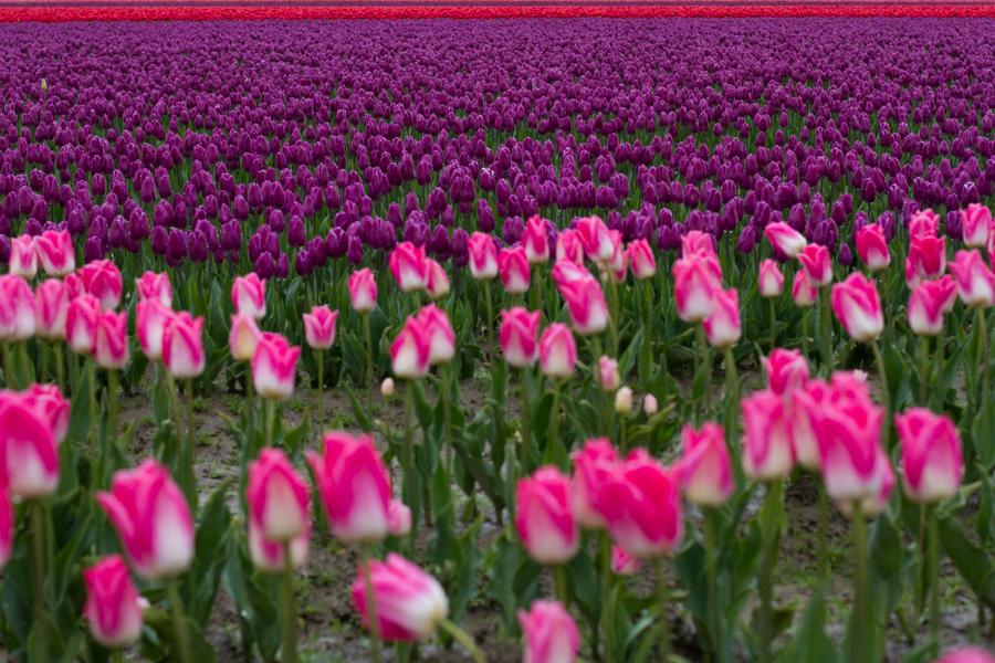 tulip festival-24
