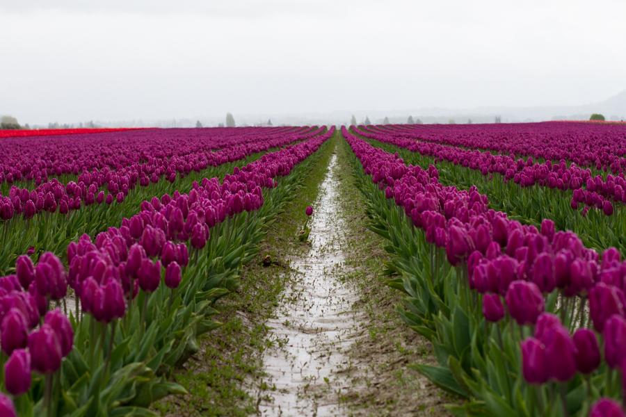 tulip festival-27