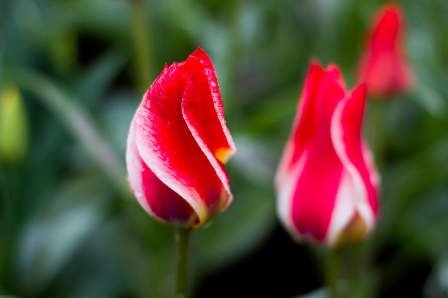tulip festival-4