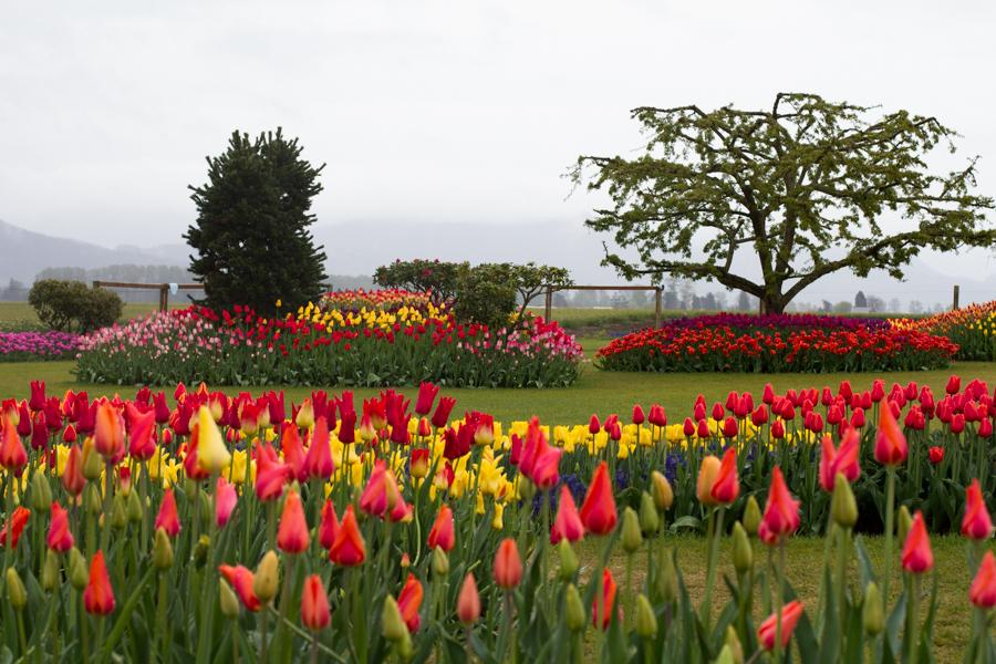 tulip festival-7